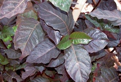 daun wungu